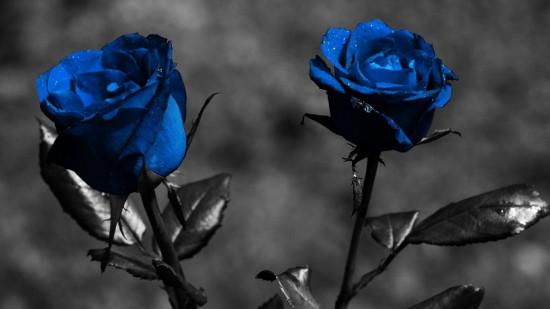 rosa azul 2